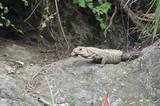 Iguane sur un rocher