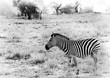 Black and white image of a zebra in the arid area of South Africa