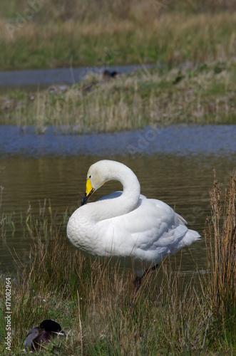 Fotobehang Cygne blanc