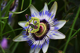 Passion Flower New Zealand