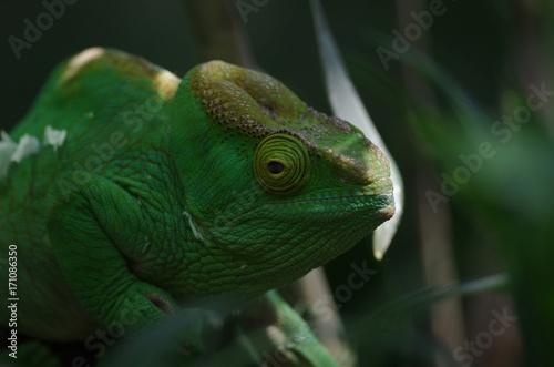 Fotobehang Kameleon Caméléon vert