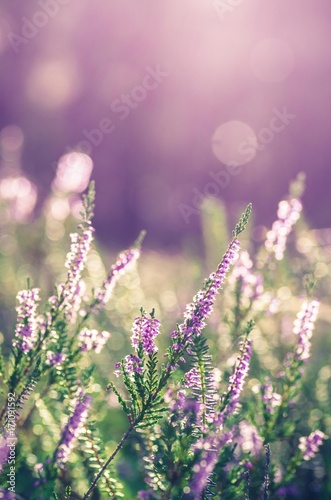 Foto op Aluminium Lichtroze Heather flowers, blooming in sunlight