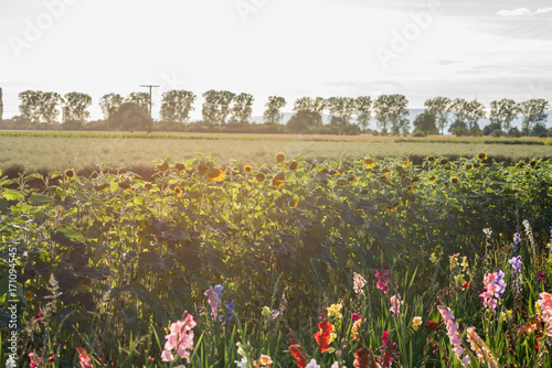 Fotobehang Tulpen flowers and agriculture in south west germany