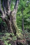 huge old beech tree in Nature Reserve rainforest Vinatovaca in Serbia - 171099554