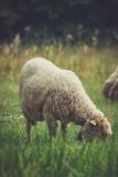 closeup of sheep grazing on meadow - 171100322
