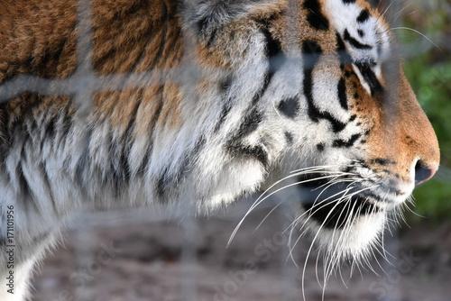 Fotobehang Tijger Tiger pacing