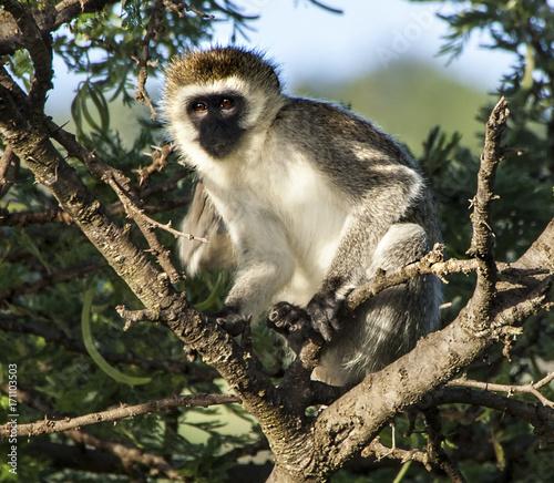 Aluminium Aap Black Faced Monkey