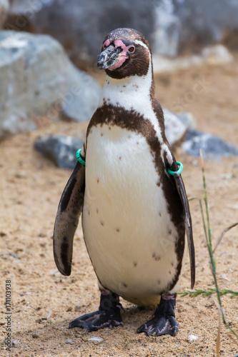 Fotobehang Pinguin Humboldt-Pinguin