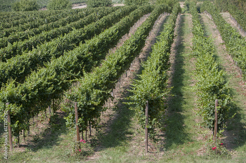 Fotobehang Wijngaard vineyards in Italy, with cypresses and some olive trees