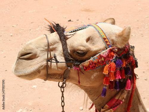 Fotobehang Kameel Petra, Camel
