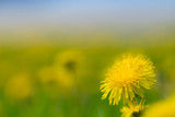 Dandelions on a blurred background