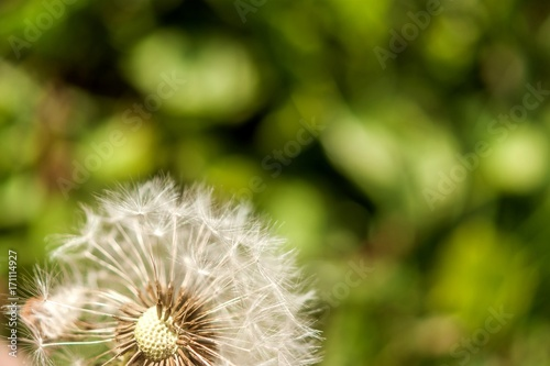 Fotobehang Paardebloemen A single dandelion with some seeds blown away on green background in late summer