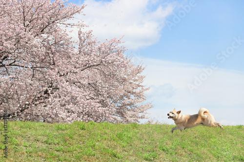 桜が満開の風景と走る柴犬