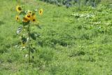 Der Sonne entgegen: einzelne mehrköpfige Sonnenblume in grüner Wiese