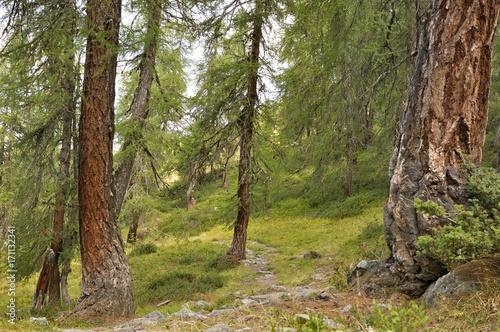 Papiers peints Route dans la forêt sentier traversant forêt de mélèzes