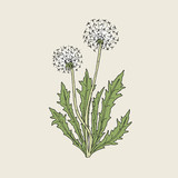 Beautiful drawing of dandelion plant with ripe seed heads or blowballs growing on green stems and leaves. Meadow flower or wild flowering herb hand drawn in retro style. Natural vector illustration.