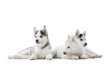 Cute little three husky puppies lying together relaxed posing in studio isolated on white.