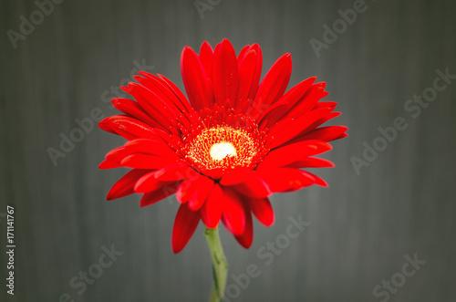Fotobehang Gerbera Red gerbera flower.