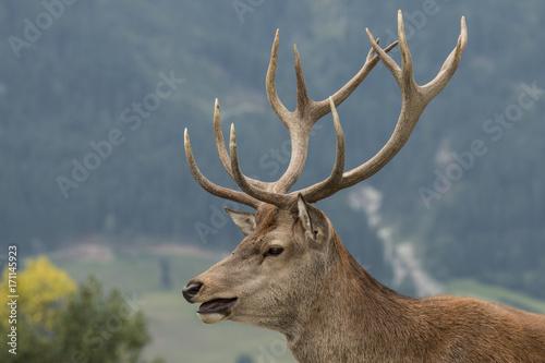 Fotobehang Hert Red Deer