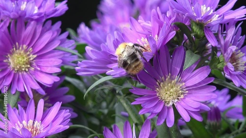 bumble bee on aster in autumn