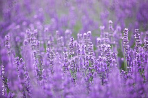 Papiers peints Lavande Lavender bushes closeup on evening. Evening light over purple flowers of lavender. Violet bushes at the center of picture. Provence region of france.