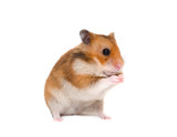 Cute Syrian hamster sitting on its hind legs in a funny pose (isolated on white)