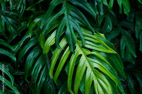 Tropical green leaves after raining on dark background, nature summer forest plant concept