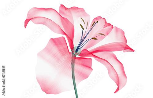 zdjęcie rentgenowskie kwiatu na białym tle, Lily