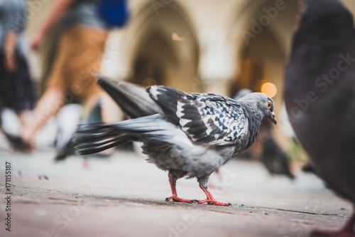 Papiers peints Cracovie Krakow pigeon at old market