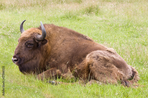 Foto op Plexiglas Gras European Bison closeup