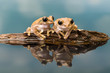 Two Amazon milk frogs reflected in water
