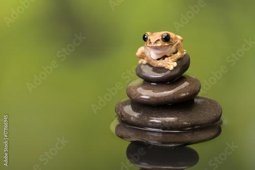 Fotobehang Pauw Peacock Tree Frog meditating