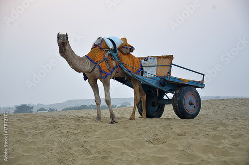 Fotobehang Kameel Rajasthan