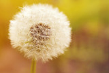 Dandelion on a bright natural yellow background, closeup
