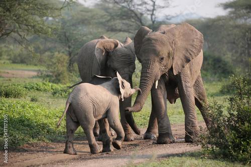 Afrikanische Elefanten (Loxodonta africana), Gruppe im Ngorongoro Nationalpark, Canvas Print