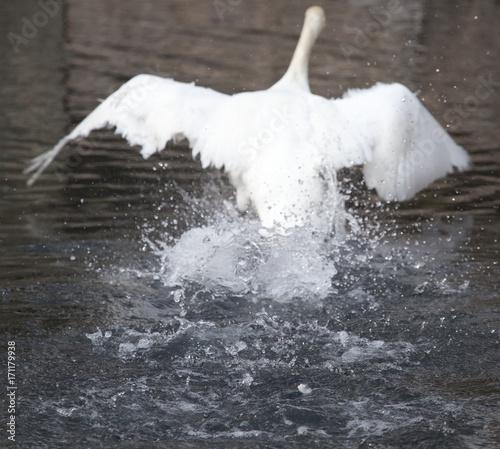 Fotobehang Zwaan white swan flies in the lake
