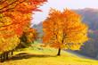 Majestic beech tree with sunny beams