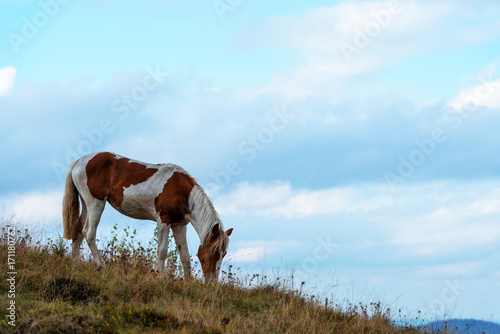 Aluminium Zomer Spotted horse grazing on a green hill