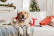 Nice Labrador is posing on couch