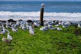 Möwen am Strand bei Schoorl/NL - 171184597