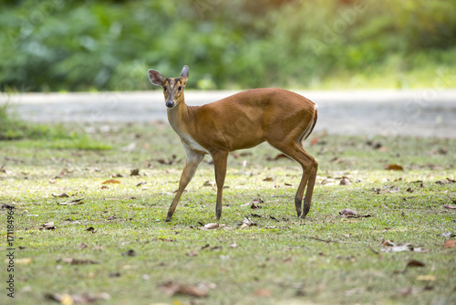 Fotobehang Hert Barking deer, Muntja