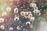 Dandelion flower and dandelion seed (fluffy blow ball), selective and soft focus on dandelion seeds - 171188142