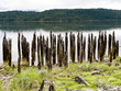 Rotting pier pilings in the Rain Forest in Northern British Columbia, Canada