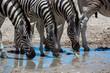 Drinking Zebras in Etosha Namibia