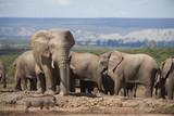 afrikanische Elefanten in freier Wildbahn