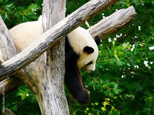 Aluminium Panda Panda Géant