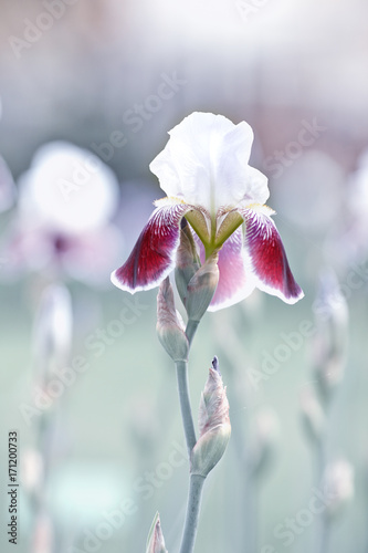 Iris Flowers - 171200733