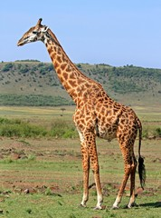Potrait of an adult Giraffe standing on the open African Plains with a scenic bush background