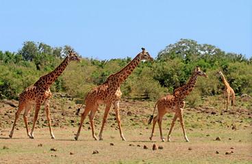 Journey of Giraffes walking across the African Savannah in South Luangwa, Zambia