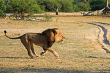 Cecil the iconic lion of Hwange running across the plains in Hwange, Zimbabwe.  Cecil was tragically killed in July 2015 by a hubter